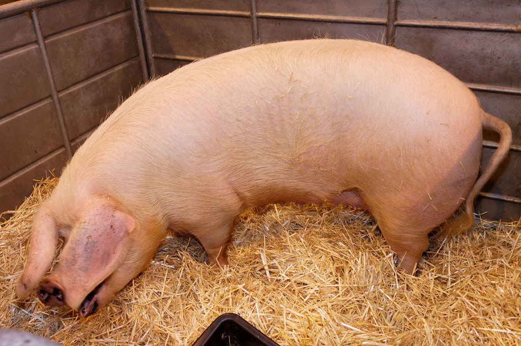 porcs