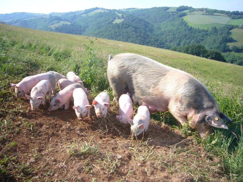cochons-ferme-loriot7