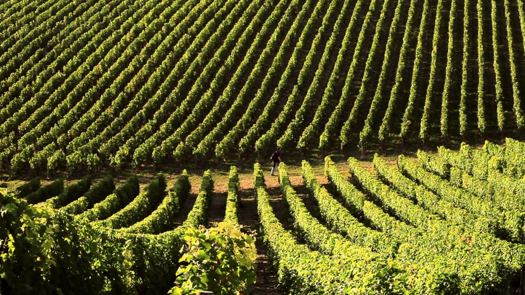 La hauteur de l'herbe sous les vignes doit être infime sinon les pesticides s'en chargeront